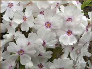 amazing-grace-phlox