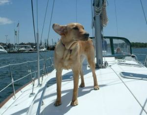 yellow-lab-goes-sailing