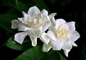 gardenias_std