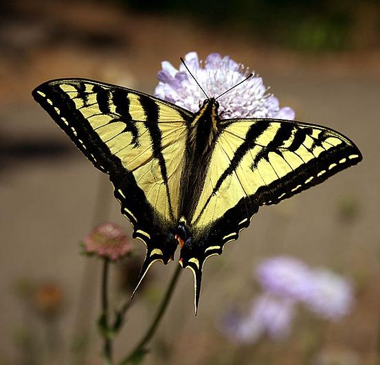 800px-swallowtail_butterfly_2
