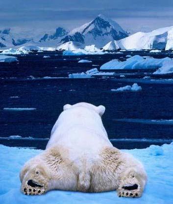 polar-bear-shakes