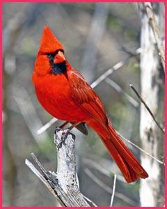 male-cardinal