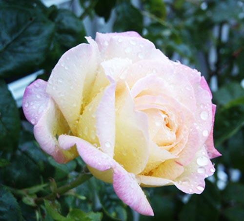 rose_peace
