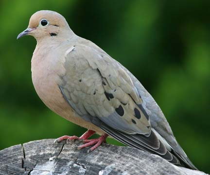 721px-mourning-dove