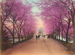akasaka-blooming-cherry-trees1