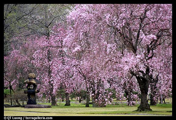 cherry tree blossom japan. Cherry Trees in Bloom