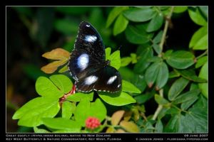 Great Eggfly by Janson Jones