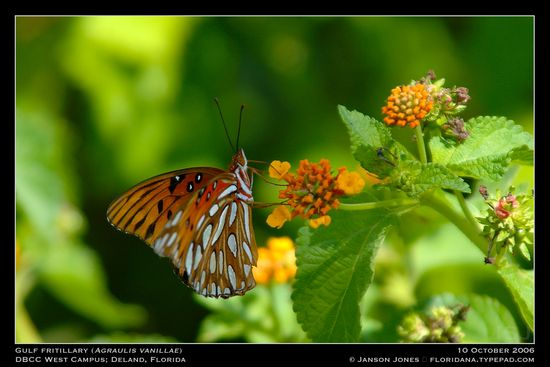 gulf-fritilary-by-janson-jones