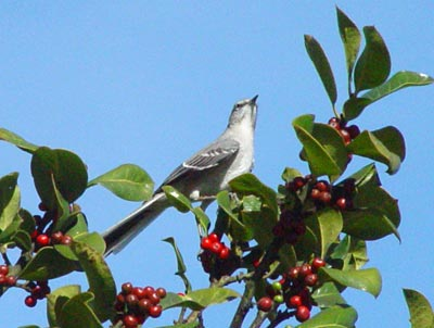 northern_mockingbird21