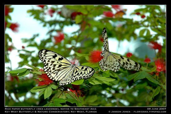 rice-paper-butterflies-by-janson-jones