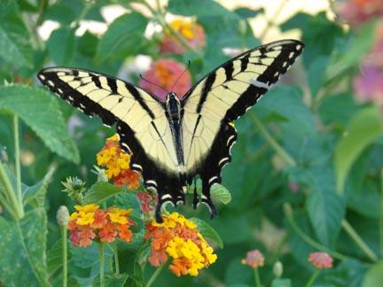 tiger-swallowtail-on-lantana