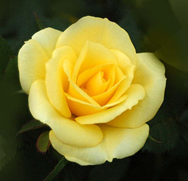 yellow-minaiture-roses