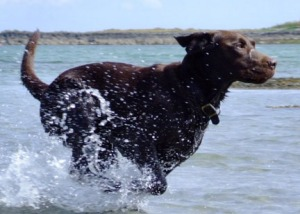 labrador-and-water