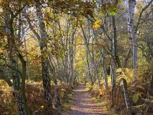 silver-birch-forest