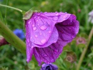 wet-violet-flower