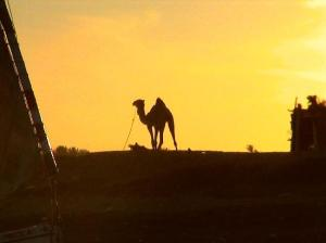 camel-at-sunset