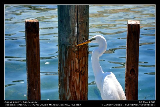 Great Egret Lower Matecumbe Key Fl by JJ