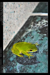 Squirrel Treefrog, Mt. Dora, Florida (rotated canvas), by Janson Jones