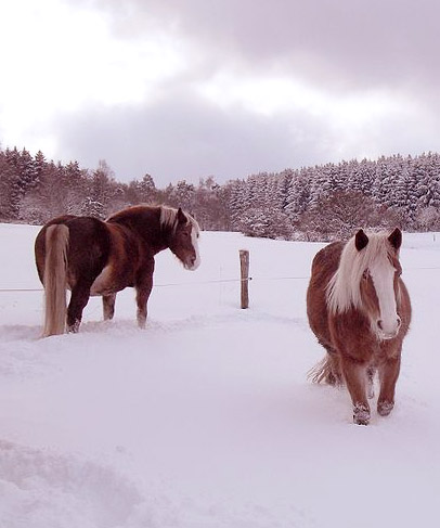 German Winter: Horses in Snow (Wikimedi Commons)