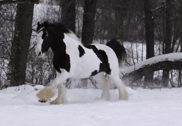 Irish Cob Horse (Wikimedia Commons)