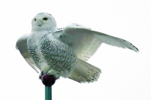 Snow Owl against White Sky by Mark Miller (Finger Lake Times)