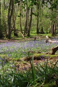 Bluebells in Roydon Woods, New Forest, UK, by Jim Champion (WC)