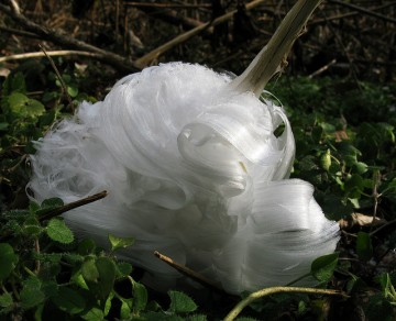 Frost Flower by Lotus Carroll FCC