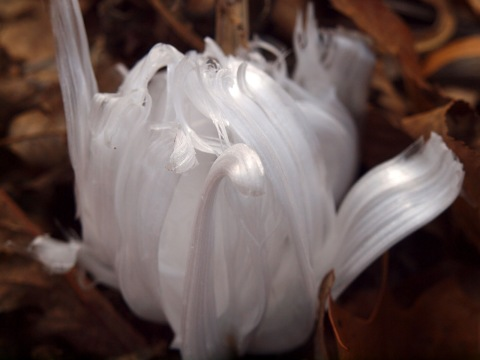 Frost Flower5 Rock Prairie Master Gardener Association