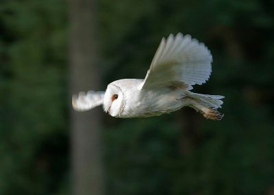 Barn Owl, Norfolk, England  WC
