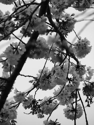 Blossom Chiaroscuro