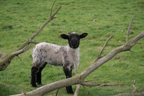 Lamb, Ickworth Park, UK by Karen Roe FCC