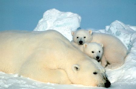 Polar Bear and Cubs USFWS WC