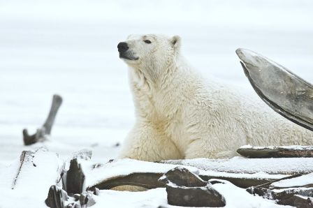 Polar Bear, Arctic National Wildlife Refuge, Alaska WC