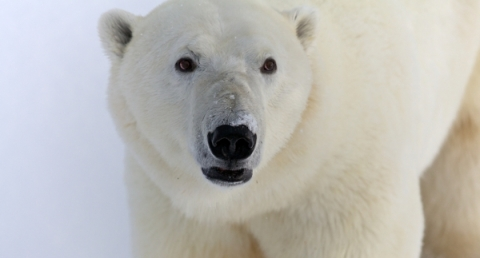 Polar Bear by Craig Taylor Polar Bears International