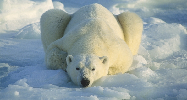 Resting Polar Bear by Daniel J. Cox (Polar Bears International)*