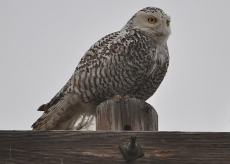 Snowy Owl in Dallas by dave dolan on nabirding dot com