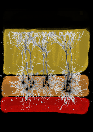Layers of the Mind by R. MeredithArt of Neuroscience Competition 2012