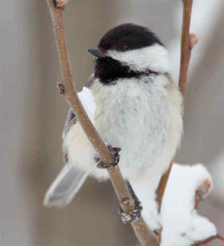 chickadee-on-snow-covered-branch northrup dot org