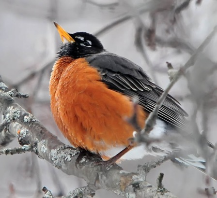 Robin in Winter via onejackdawbirding dot blogspot cc