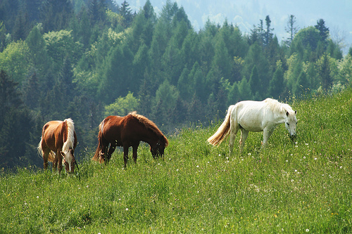 Grazing Horses by Mathias-Erhart FCC