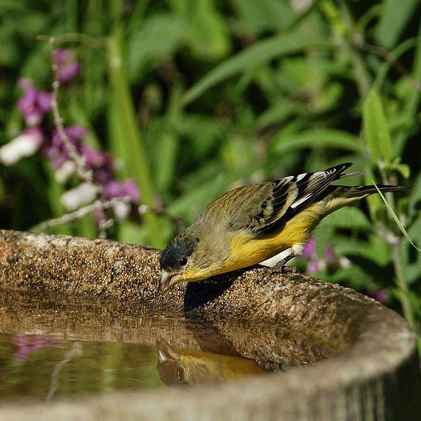 Male Lesser_goldfinch WC matt knoth