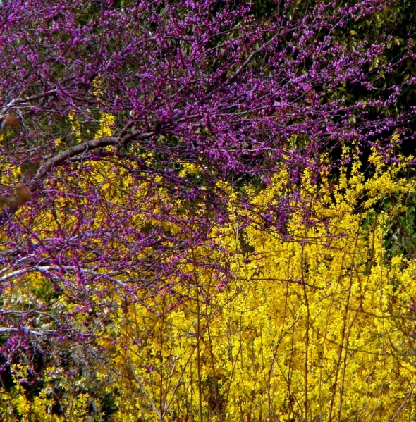 Forsythia and Redbud Mingling by Rodney Williams (rodwilliams) on 500px.com