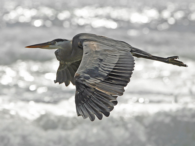 Great Blue Heron on Morro Strand State Beach mikebaird