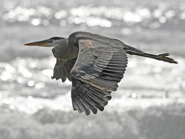 Great Blue Heron on Morro Strand State Beach mikebaird