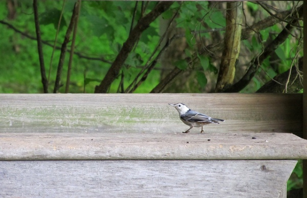 White Breasted Nuthatch by Amy Loves Yah FCC