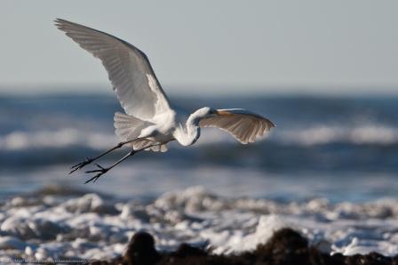 Great Egret (Ardea alba) taking flight to avoid crashing waves