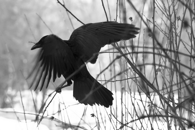 Black Bird by Barbara Willi FCC