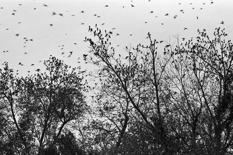 Swarming Birds at Dusk by Hunter Desportes FCC