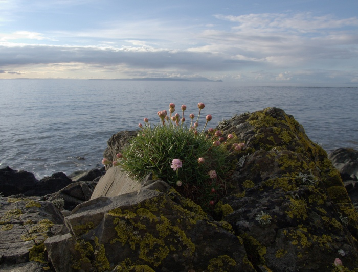 Sea thrift and the sea by slkovjr fcc