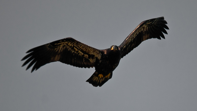 Eagle Wings by Ricymar Photography FCC